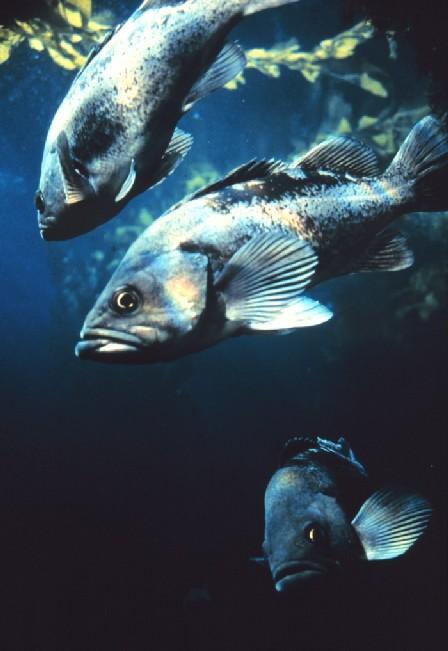 Black Rockfish Copyright NOAA