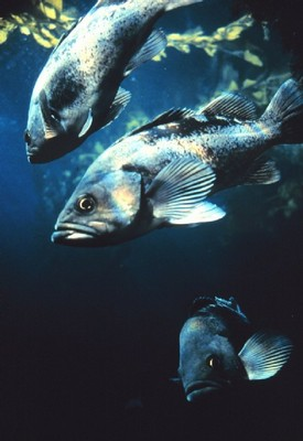 Black Rockfish Copyright NOAA